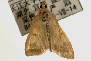 (Pleuroptya punctimarginalis - Pyr000493)  @13 [ ] Copyright (2010) Zhaofu Yang Northwest Agriculture and Forest University