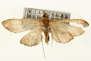 (Bradina rectilinealis - Pyr000915)  @15 [ ] Copyright (2010) Zhaofu Yang Northwest Agriculture and Forest University