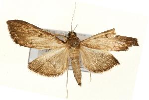 (Bradina erilitoides - Pyr000916)  @14 [ ] Copyright (2010) Zhaofu Yang Northwest Agriculture and Forest University