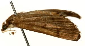 (Bradina angustalis - Pyr000938)  @11 [ ] Copyright (2010) Zhaofu Yang Northwest Agriculture and Forest University