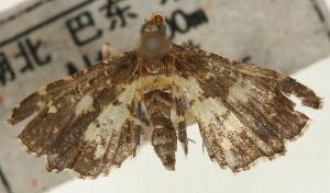 (Eurrhyparodes bracteolalis - Pyr001162)  @13 [ ] Copyright (2010) Zhaofu Yang Northwest Agriculture and Forest University