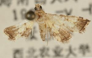(Nacoleia maculalis - Pyr001167)  @11 [ ] Copyright (2010) Zhaofu Yang Northwest Agriculture and Forest University