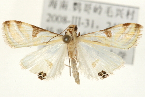(Talanga nr. tolumnialis - Pyr001171)  @14 [ ] Copyright (2010) Zhaofu Yang Northwest Agriculture and Forest University