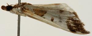 (Polythlipta liquidalis - Pyr001293)  @11 [ ] Copyright (2010) Zhaofu Yang Northwest Agriculture and Forest University