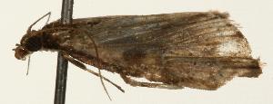 (Piletocera aegimiusalis - Pyr001443)  @11 [ ] Copyright (2010) Zhaofu Yang Northwest Agriculture and Forest University