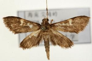 (Piletocera sp. 1 ZY - Pyr001444)  @14 [ ] Copyright (2010) Zhaofu Yang Northwest Agriculture and Forest University