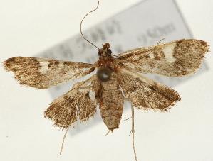 (Piletocera sp. 2 ZY - Pyr001447)  @14 [ ] Copyright (2010) Zhaofu Yang Northwest Agriculture and Forest University