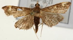 (Piletocera sp. 4 ZY - Pyr001451)  @14 [ ] Copyright (2010) Zhaofu Yang Northwest Agriculture and Forest University