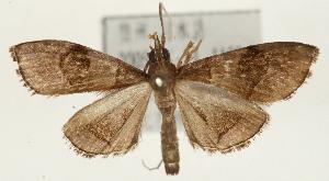 (Clupeosoma cinereum - Pyr001657)  @14 [ ] Copyright (2010) Zhaofu Yang Northwest Agriculture and Forest University
