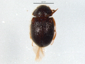 (Sphindidae - BIOUG03006-H05)  @14 [ ] CC-0 (2012) CBG Photography Group Centre for Biodiversity Genomics