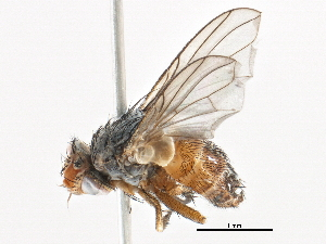 (Ceromya - BIOUG19254-A04)  @15 [ ] CC-0 (2015) CBG Photography Group Centre for Biodiversity Genomics