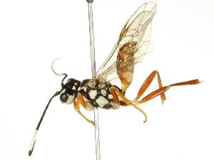 (Trigonalidae - BIOUG04042-A08)  @14 [ ] CC-0 (2012) CBG Photography Group Centre for Biodiversity Genomics
