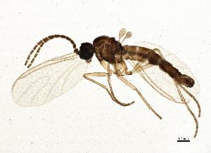 (Corynoptera fera - BIOUG03255-C06)  @15 [ ] CC-0 (2013) CBG Photography Group Centre for Biodiversity Genomics
