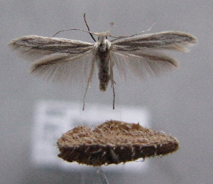 (Coleophora obtectella - MM21960)  @14 [ ] CreativeCommons - Attribution Non-Commercial (2014) Marko Mutanen University of Oulu