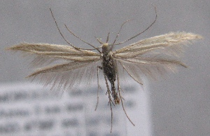 (Coleophora fretella - MM21967)  @11 [ ] CreativeCommons - Attribution Non-Commercial (2014) Marko Mutanen University of Oulu