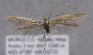 (Coleophora perplexella - MM21968)  @14 [ ] CreativeCommons - Attribution Non-Commercial (2014) Marko Mutanen University of Oulu
