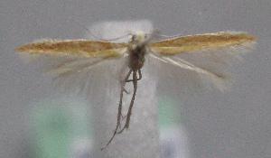 (Coleophora denigrella - MM23582)  @14 [ ] CreativeCommons - Attribution Non-Commercial (2014) Marko Mutanen University of Oulu