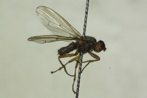 (Heterocheilidae - CollHH1421)  @11 [ ] Creative Commons – Attribution Non-Commercial Share-Alike (2018) Hakon Haraldseide Unspecified