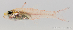 (Apogonidae - R0101_031)  @15 [ ] Copyright (2015) Adeline COLLET OCEA Consult