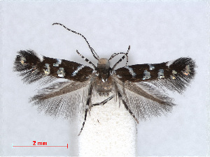 (Vulcaniella cognatella - RMNH.INS.556913)  @11 [ ] CreativeCommons - Attribution Non-Commercial Share-Alike (2013) Unspecified Naturalis, Biodiversity Centre