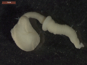 "(Echinorhynchida - CRUB UNCOPA AC LS PAT 0028)  @14 [ ] Copyright (2013) MACN Museo Argentino de Ciencias Naturales ""Bernardino Rivadavia"""
