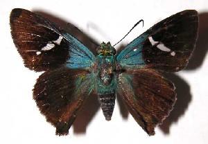 (Chrysoplectrum - 03-SRNP-10713)  @15 [ ] CreativeCommons - Attribution Non-Commercial Share-Alike (2004) Daniel H. Janzen Guanacaste Dry Forest Conservation Fund