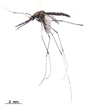 (Anopheles vestitipennis - CUL_0102)  @15 [ ] CreativeCommons - Attribution (2013) Rahuel Chan Instituto Tecnologico de Chetumal
