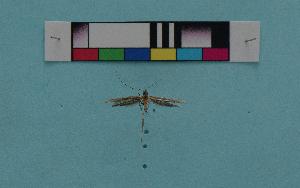 (Caloptilia syrphetias - KFBG-LepDNA-00003)  @11 [ ] Copyright (2011) Dr. Pankaj Kumar KFBG