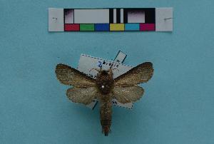 (Phragmataecia fusca - KFBG-LepDNA-00008)  @11 [ ] Copyright (2011) Dr. Pankaj Kumar KFBG