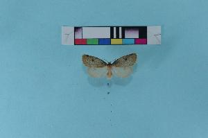 (Thumatha orientalis - KFBG-LepDNA-00062)  @12 [ ] Copyright (2011) Dr. Pankaj Kumar KFBG