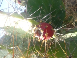 (Opuntia dillenii - MP373)  @11 [ ] Copyright (2014) PHCDBS Paul Hebert Centre for DNA Barcoding and Biodiversity Studies