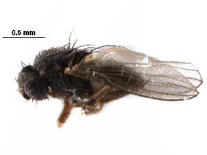 (Australimyzidae - BIOUG28752-C01)  @11 [ ] CreativeCommons - Attribution Non-Commercial Share-Alike (2016) CBG Photography Group Centre for Biodiversity Genomics