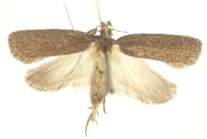(Agonopterix pullella - TLMF Lep 23581)  @11 [ ] CreativeCommons - Attribution Non-Commercial Share-Alike (2018) Peter Buchner Tiroler Landesmuseum