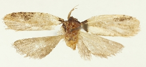 (Agonopterix vietnamella - TLMF Lep 25951)  @11 [ ] CreativeCommons - Attribution Non-Commercial Share-Alike (2018) Peter Buchner Tiroler Landesmuseum