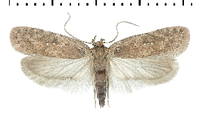(Agonopterix orophilella - TLMF Lep 26139)  @11 [ ] CreativeCommons - Attribution Non-Commercial Share-Alike (2019) Peter Buchner Tiroler Landesmuseum