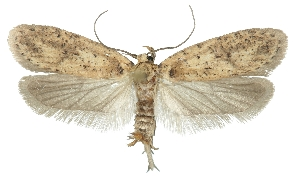 (Agonopterix agyrella - TLMF Lep 26352)  @11 [ ] CreativeCommons - Attribution Non-Commercial Share-Alike (2018) Peter Buchner Tiroler Landesmuseum