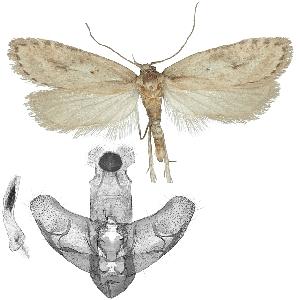(Exaeretia mongolicella - TLMF Lep 17715)  @14 [ ] CreativeCommons - Attribution Non-Commercial Share-Alike (2015) Peter Buchner Tiroler Landesmuseum Ferdinandeum