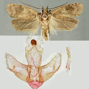 (Exaeretia thurneri - TLMF Lep 19068)  @14 [ ] CreativeCommons - Attribution Non-Commercial Share-Alike (2016) Peter Buchner Tiroler Landesmuseum