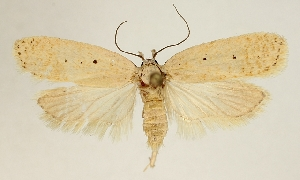 (Agonopterix squamosa - BC TLMF Lep 19313)  @14 [ ] CreativeCommons - Attribution Non-Commercial Share-Alike (2016) Peter Huemer Tiroler Landesmuseum