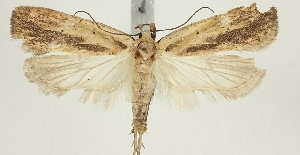 (Agonopterix kyzyltashensis - BC TLMF Lep 19339)  @13 [ ] CreativeCommons - Attribution Non-Commercial Share-Alike (2016) Peter Huemer Tiroler Landesmuseum