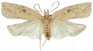 (Agonopterix lacteella - ZMUC-29134-A10)  @11 [ ] CreativeCommons - Attribution Non-Commercial Share-Alike (2016) Peter Buchner Tiroler Landesmuseum
