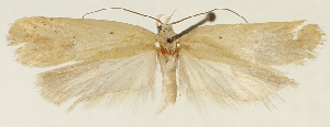 (Agonopterix demissella - ZMUC-29134-B10)  @11 [ ] CreativeCommons - Attribution Non-Commercial Share-Alike (2016) Peter Buchner Tiroler Landesmuseum