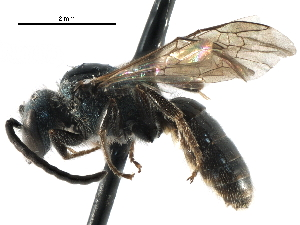 (Lasioglossum versatum - 06732H06-RI)  @15 [ ] CreativeCommons - Attribution Non-Commercial Share-Alike (2015) CBG Photography Group Centre for Biodiversity Genomics