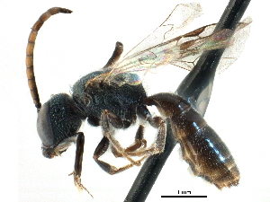 (Lasioglossum katherineae - 06735G03-MA)  @15 [ ] CreativeCommons - Attribution Non-Commercial Share-Alike (2015) CBG Photography Group Centre for Biodiversity Genomics