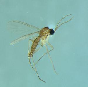 (Corynoptera cf. cavipes - bf-sci-01375)  @11 [ ] CreativeCommons - Attribution Non-Commercial Share-Alike (2015) Kjell Magne Olsen BioFokus