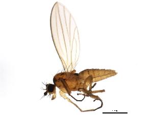 (Lonchoptera bifurcata - 10BBDIP-0993)  @16 [ ] CreativeCommons - Attribution Non-Commercial Share-Alike (2010) CBG Photography Group Centre for Biodiversity Genomics