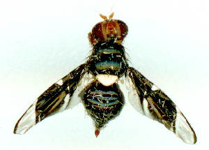(Calosphenisca - gvc3011-1L)  @11 [ ] Copyright (2004) Graeme V. Cocks Unspecified