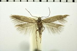 (Ivanauskiella - NMPC-LEP-0389)  @11 [ ] by-nc-sa (2018) Jan Sumpich National Museum of Natural History, Prague