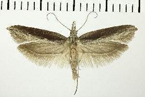 (Ypsolopha instabilella - NMPC-LEP-0200)  @14 [ ] CreativeCommons - Attribution Non-Commercial Share-Alike (2018) Jan Sumpich National Museum of Natural History, Prague