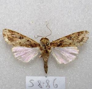 "(Spodoptera ornithogalli - MACN-Bar-Lep-ct 05886)  @14 [ ] Copyright (2014) MACN Museo Argentino de Ciencias Naturales ""Bernardino Rivadavia"""